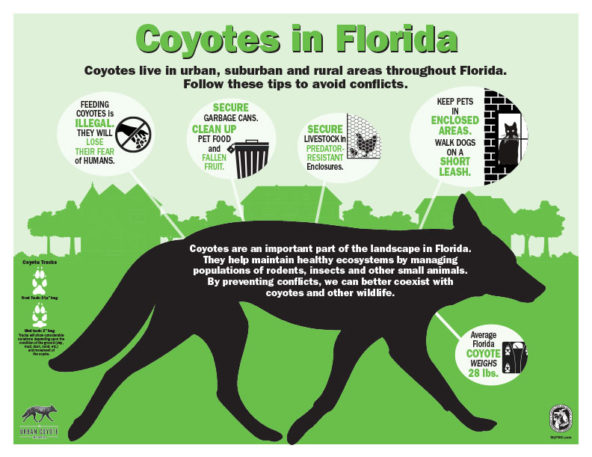 Living with Coyotes in Florida